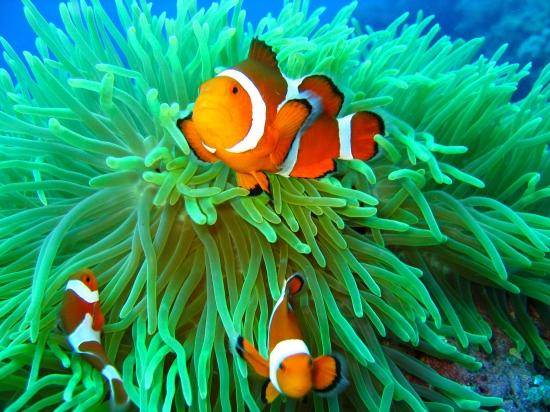 poisson clown qui pose devant l'anémone quoi l'abrite
