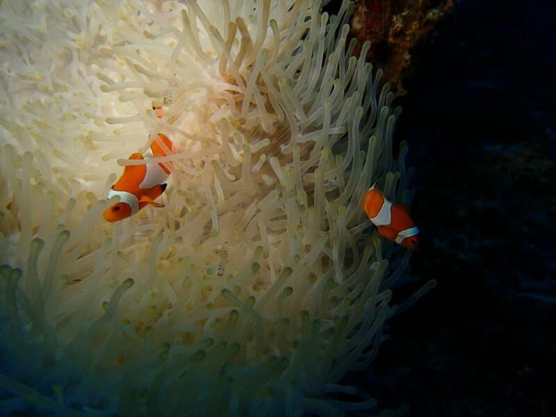 souvenir merveilleux d'anémone de mer