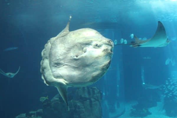Poisson lune ou Mola Mola
