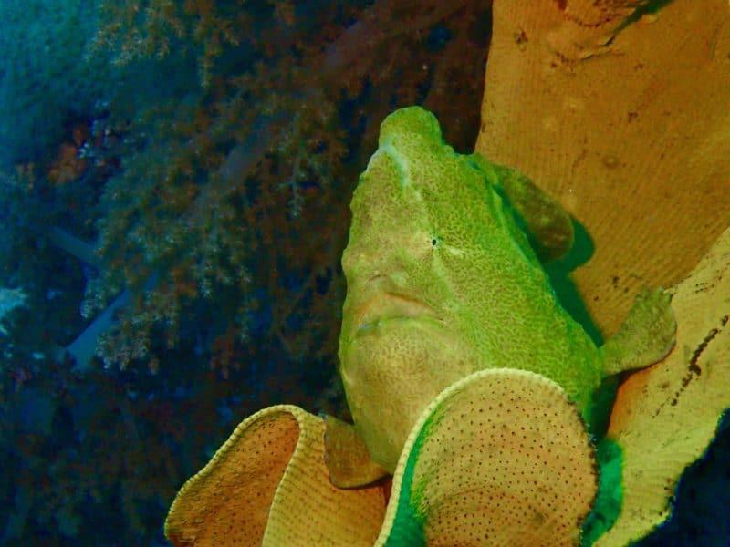 poisson grenouille