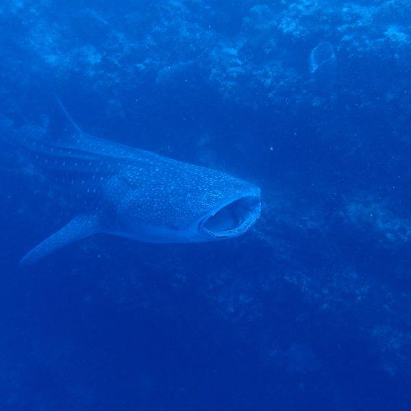 Requins baleine