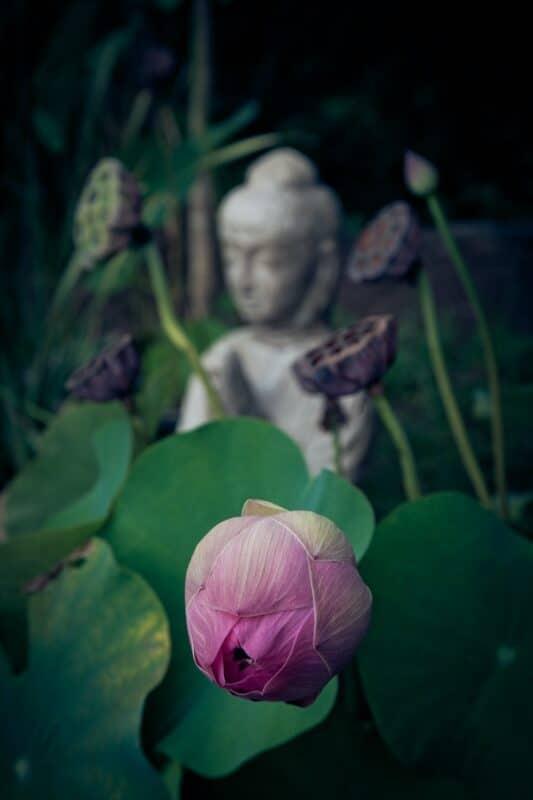 le lotus symbole du zen