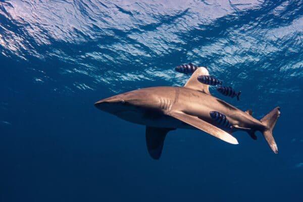 requin longimane voyage plongée Egypte
