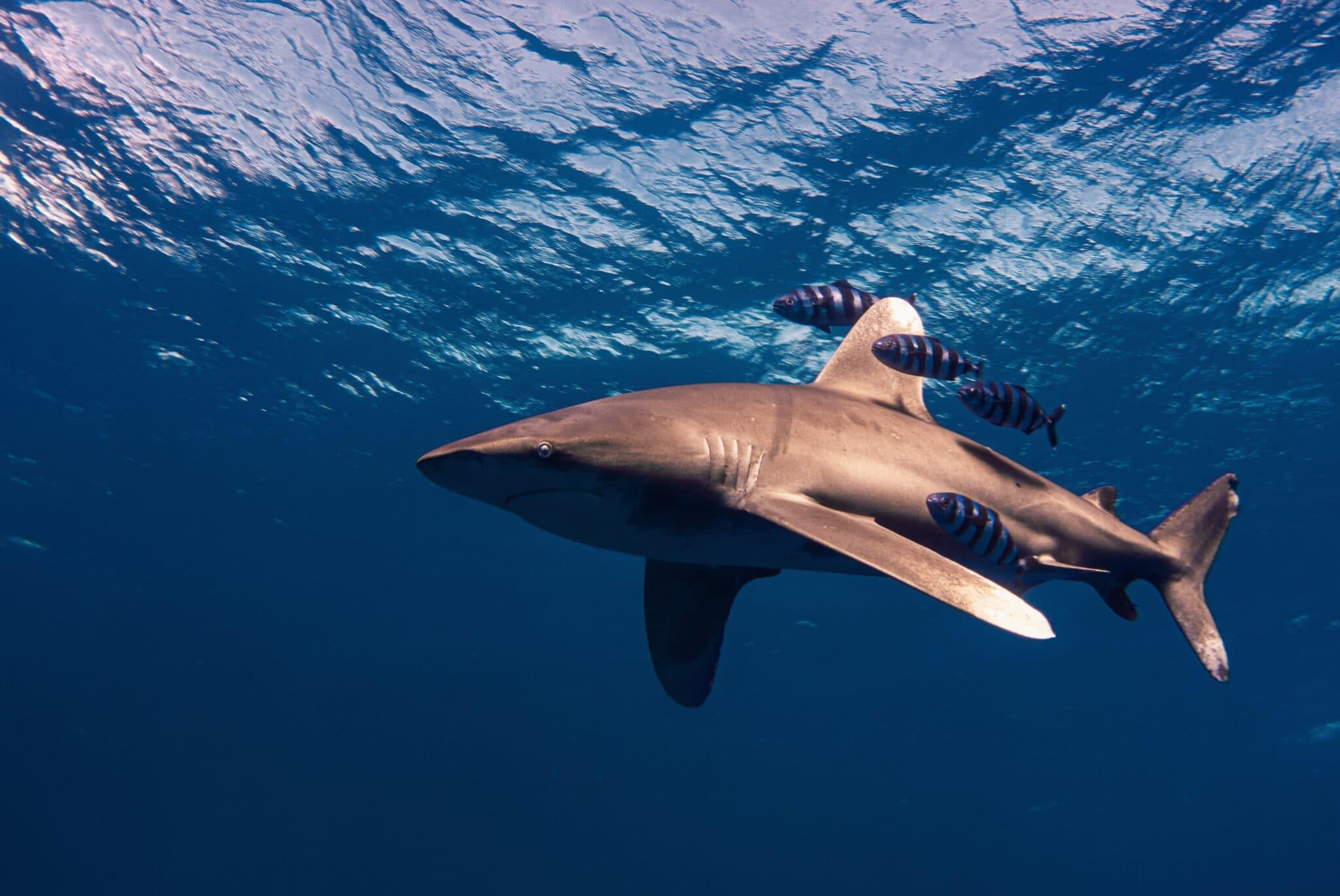 requin longimane