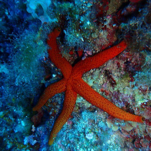 Spots de plongée à Nice étoile de mer